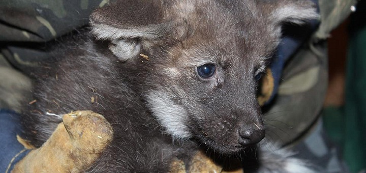 Młode wilczki zostały pokazane w warszawskim ZOO