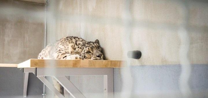 Pantera śnieżna w warszawskim zoo