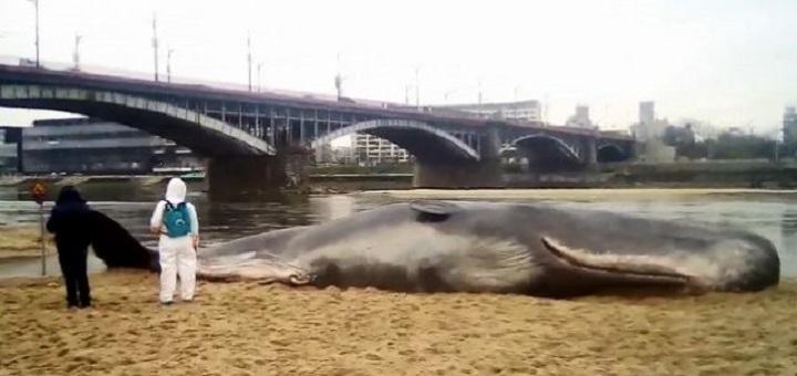 Wisła wyrzuciła wieloryba na brzeg