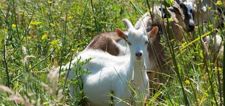 fot. Kozy na wiślanej wyspie. Fot UM